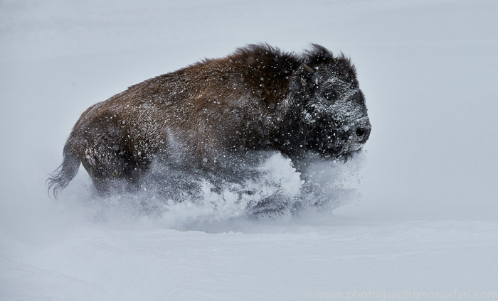 Bison 2014-1copyright-photographers-on-safari-com