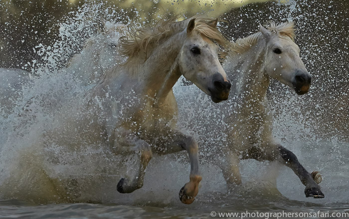 Camargue Horses 2015 -73copyright-photographers-on-safari-com