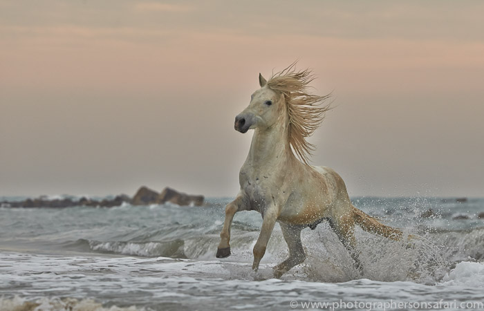Camargue Horses 2015 -7copyright-photographers-on-safari-com