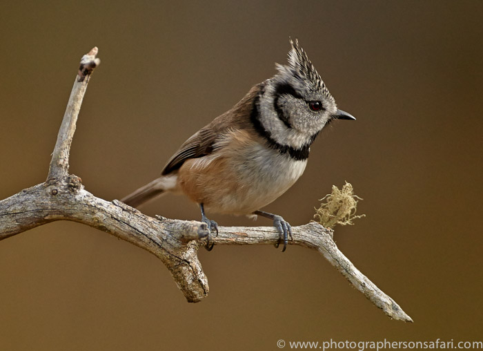 Crested Tit 2014-4copyright-photographers-on-safari-com