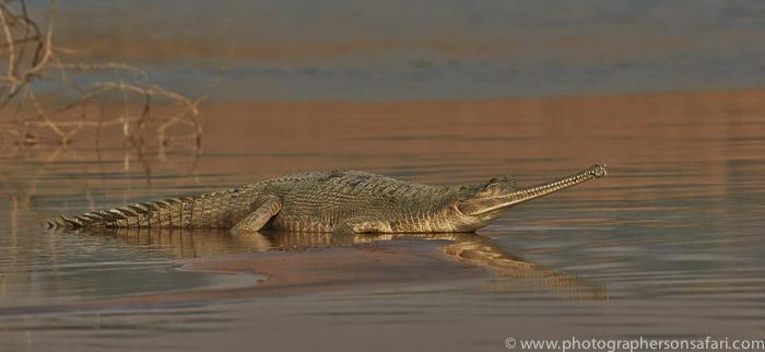 Gharial 2015 -5copyright-photographers-on-safari-com