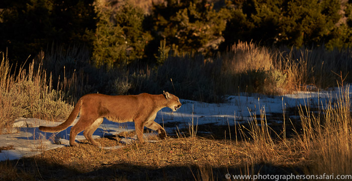 Mountain Lion 2014-2copyright-photographers-on-safari-com