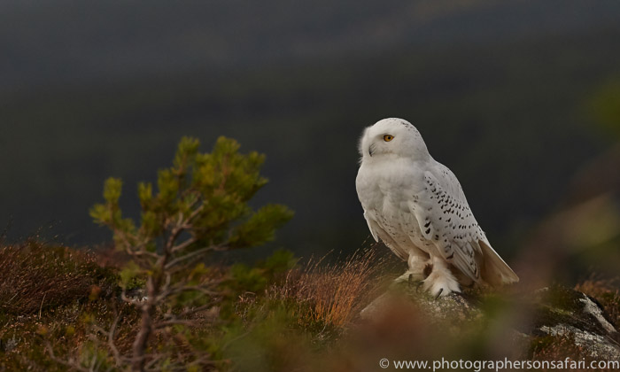 Snowy Owl 2014-15copyright-photographers-on-safari-com