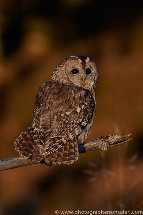Tawny Owl 2014-14copyright-photographers-on-safari-com