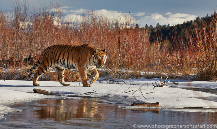 Tiger 2014-14copyright-photographers-on-safari-com