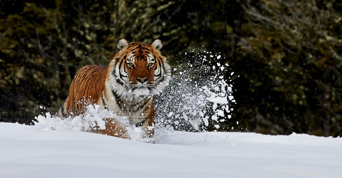 Tiger 2014-38copyright-photographers-on-safari-com
