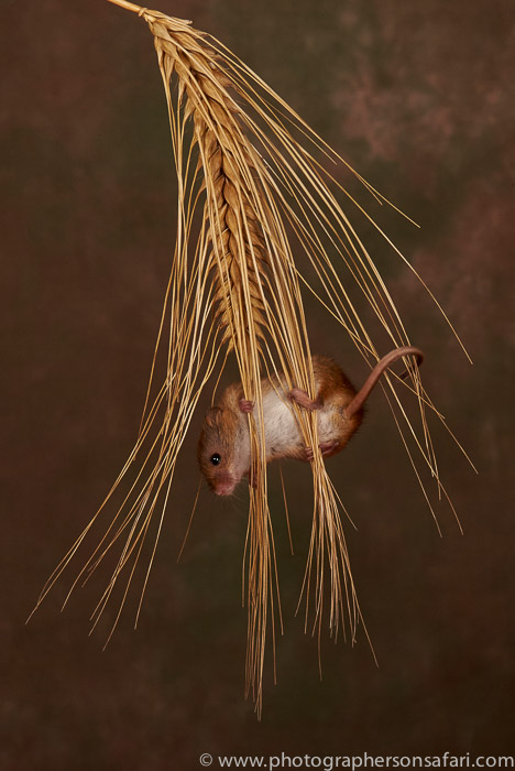 Harvest Mouse-copyright-photographers-on-safari-com-6161