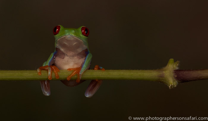 Red-Eyed-Tree-Frog-copyright-photographers-on-safari-com-6189