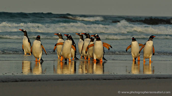 gentoo-penguin-falkland-islands-4864-copyright-photographers-on-safari-com