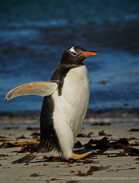 gentoo-penguin-falkland-islands-4916-copyright-photographers-on-safari-com