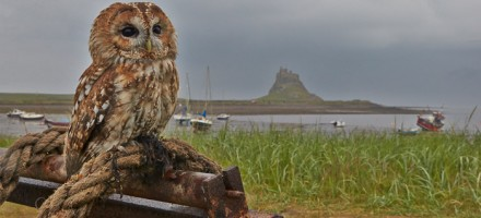 Birds of Prey on Holy Island